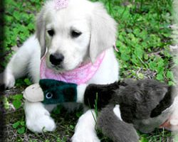 What's the Difference Between a Boy & Girl Golden Retriever?
