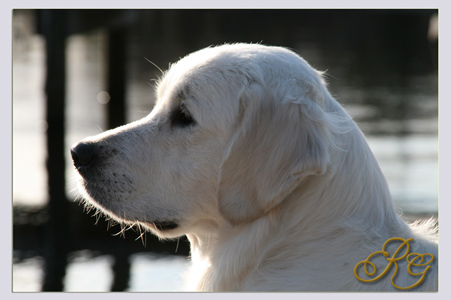 English_Golden_Muzzle