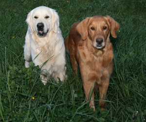 See the differences between the AKC and KC standards for Golden Retriever coat color.