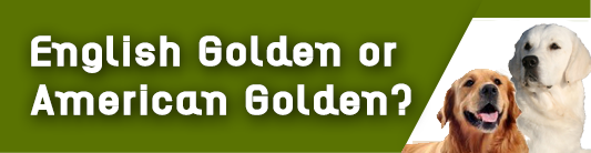 Learn more about the English Golden Retriever, and what makes them different from the American Golden