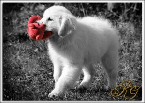 Most Common Health Issues with English Golden Retrievers