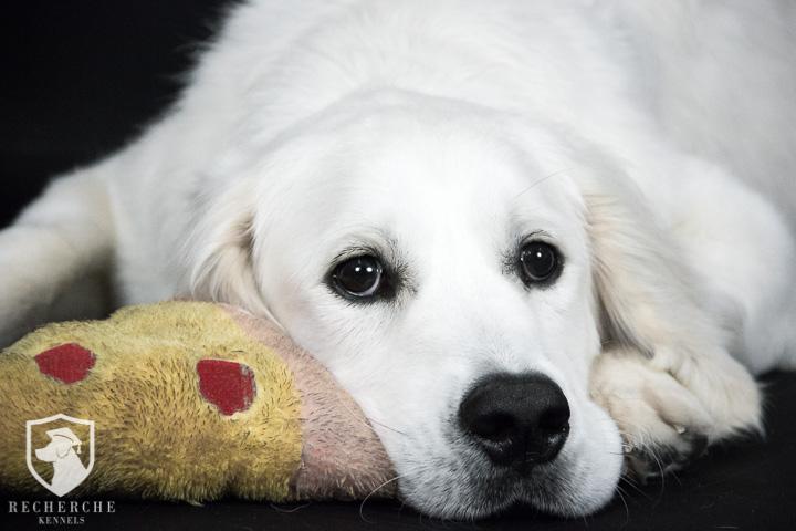 Available English Golden Retriever Puppies- Recherche