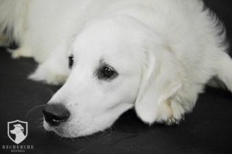 Beautiful Trained English Cream Golden Retriever Puppies