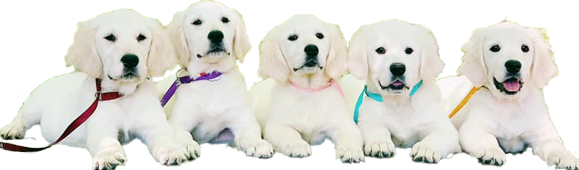 English Golden Puppy Litter